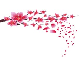Sakura flowers background. Cherry blossom isolated white background. Chinese new year