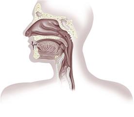 Upper organs of respiratory system, illustration