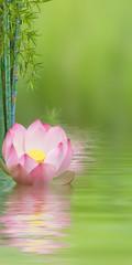 composition aquatique, lotus rose et bambou