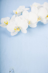 Orchid (Phalaenopsis) on a blue wooden table