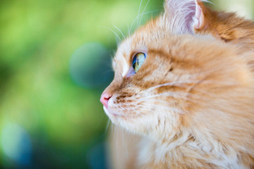 Beautiful red cat