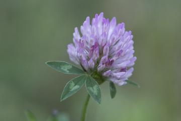 clover, trefoil, flower, purple, closeup