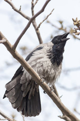 Hooded Crow (Corvus cornix).