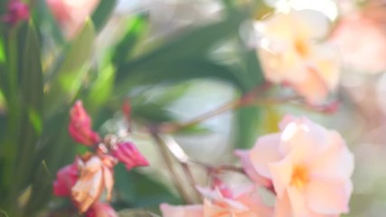 Canvas Print  - Oleander flower blooming. Flowering pink oleander trees closeup. 4K UHD video 3840x2160