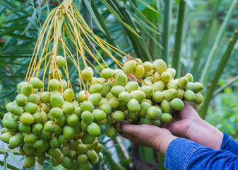 Dates in hands on a palm tree.