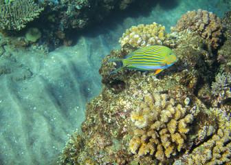 Yellow surgeonfish in coral reef. Tropical seashore inhabitants underwater photo.