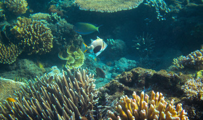 Colorful Triggerfish in coral reef. Tropical seashore inhabitants underwater photo.