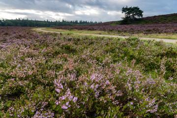 Flowering Heathland or moorland in Holland