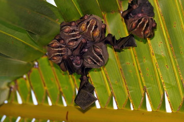Group of tent making bats under a palm leaf, Costa Rica