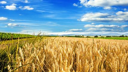 Milder Spätsommer in der Pfalz: Weizenfelder, Ernte, Getreide, blauer Himmel, Wolken :)