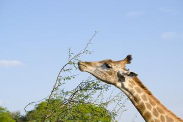 Girafa comendo