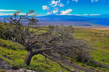 Hawaii Big Island tree Mauna Loa