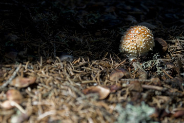 undergrowth with a small newly born Amanita Muscaria (white red), poisonous and deadly fungus, surrounded by pine needles and lichens, forest, Madonna di Campiglio, Trentino Alto Adige, Italy