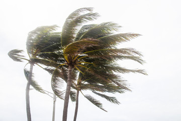 Palm trees blowing in the winds before catastrophic hurricane Irma.