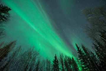 Green Aurora borealis rising up from behind silhouetted tree framing on three sides