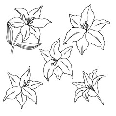 vector contour illustration of lily flowers