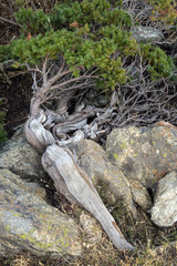 dwarf pine crawling over the stone, Corsica mountains