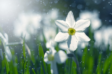 White narcissus in the sunlight and bokeh. Soft selective focus.