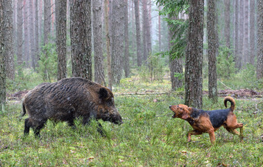Poster de jardin Chasse Hunting with hound on wildboar