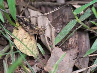 Locust Camouflage on Dry Leaves