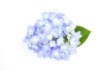 Zelfklevend Fotobehang Hydrangea 紫陽花