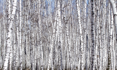 Garden Poster Birch Grove White birch tree in early spring