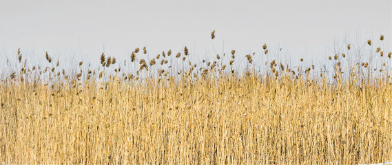 reed in winter against the sky