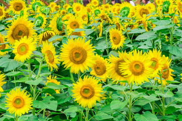 Sunflowers field  blooming  in the garden at sunny summer or spring day in Yamanashi Prefecture, Japan .