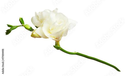 Fresh white freesia flowers stock photo and royalty free images on fresh white freesia flowers mightylinksfo
