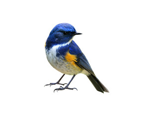 Zelfklevend Fotobehang Vogel Himalayan bluetail or Red-flanked,Orange-flanked bush-robin (Tarsiger rufilatus) lovely blue bird with yellow marking on its wings isolated on white background, fascinated nature