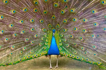Indian peacock Close-up