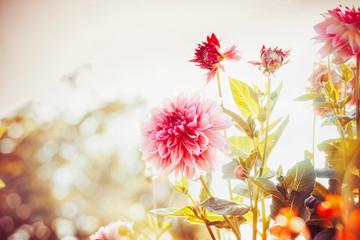 Printed kitchen splashbacks Dahlia Beautiful autumn garden with Dahlias flowers