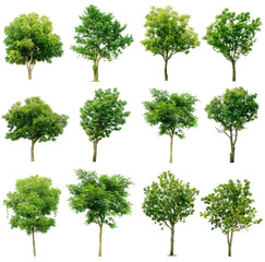 set of green trees isolated on white background.Collection of isolated tree on white background.Total Group tree white background.tree isolated on white background.
