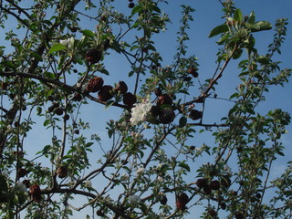 Crabapple Blossoms Amidst Rotten Apples on Tree