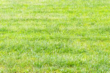 Green grass on a meadow as natural background.