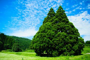 小杉の大杉 トトロの木