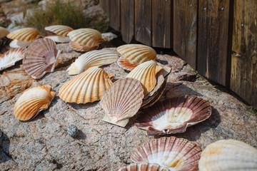 many scallop shells
