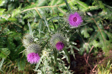 Thistle flower, symbol of Scotland