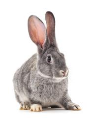 One gray rabbit.