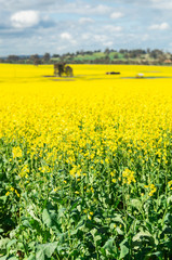 Fields of golden canola crops north of Benalla, Victoria