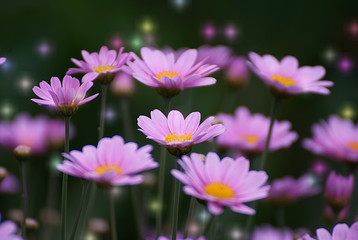 Pink daisies with a colorful background