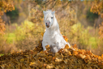 Funny pony sitting in a pile of leaves in autumn