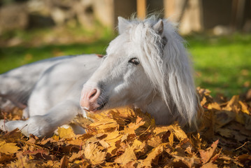 White pony lying in leaves in autumn