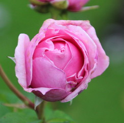 Rose type Princess Claire in Rosarium Boskoop in The Netherlands