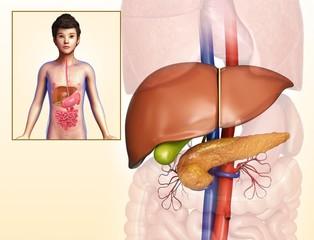 Child's liver and pancreas anatomy, illustration