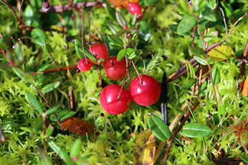 Ripe cranberry among moss in Siberia