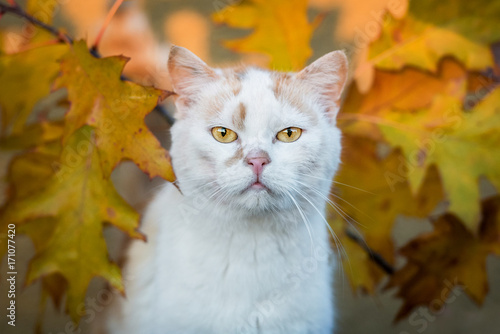 Beautiful cat with yellow eyes in autumn