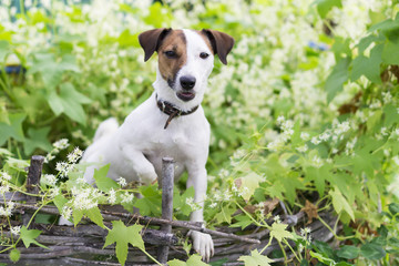 the Jack Russell nature