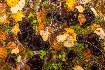 Black trumpet Caterellus mushroom