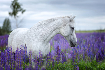 Portrait of a purebred Arabian horse standing among lupine flowers.
